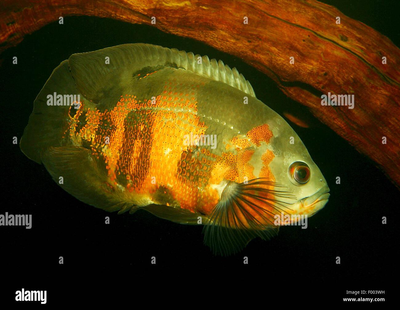 Oscar, Oscar's cichlid, velvet cichlid (Astronotus ocellatus), natación Imagen De Stock