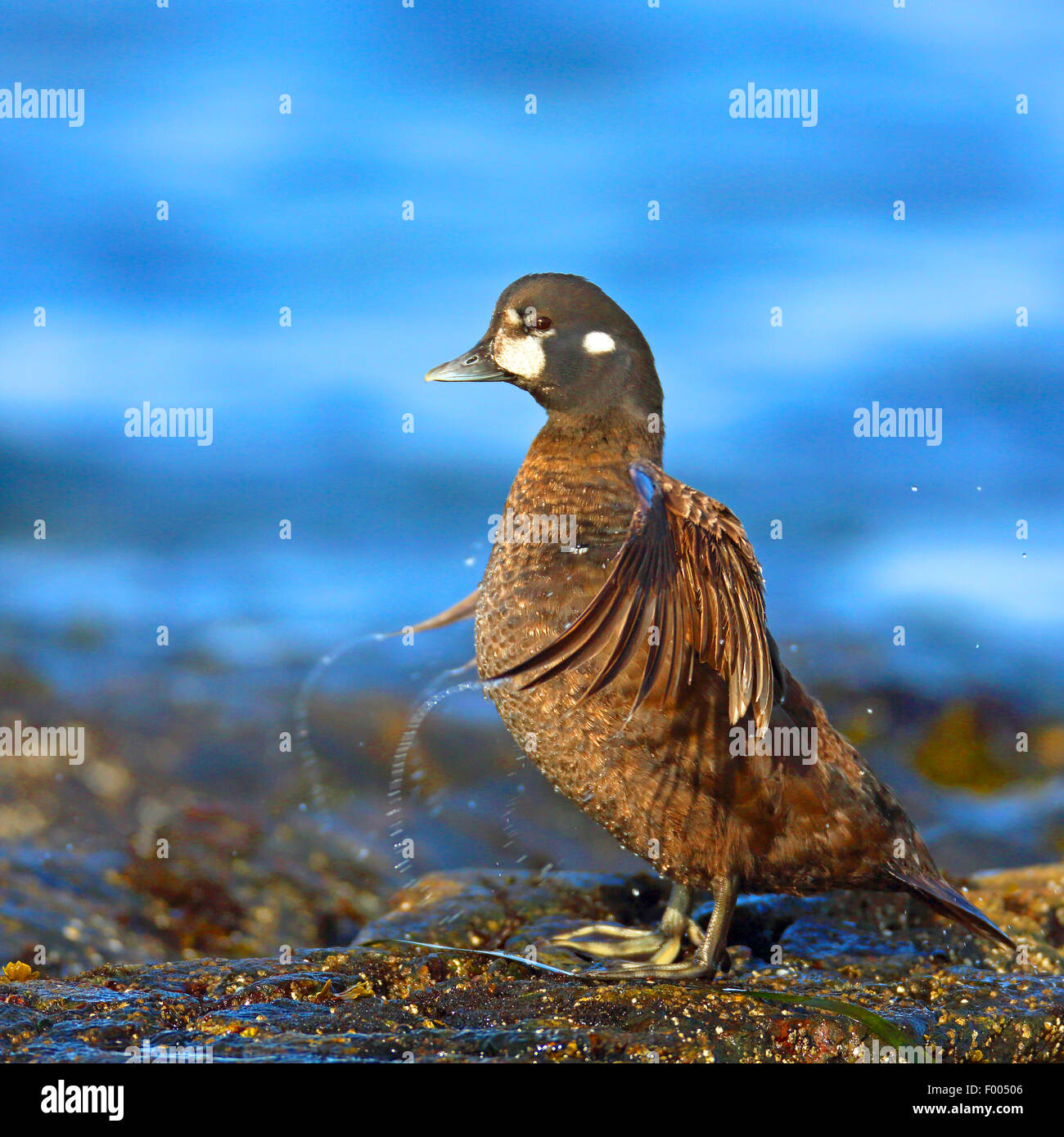 El pato arlequín (Histrionicus histrionicus), hembra se alza sobre una roca en el mar batir las alas, el Canadá, Imagen De Stock