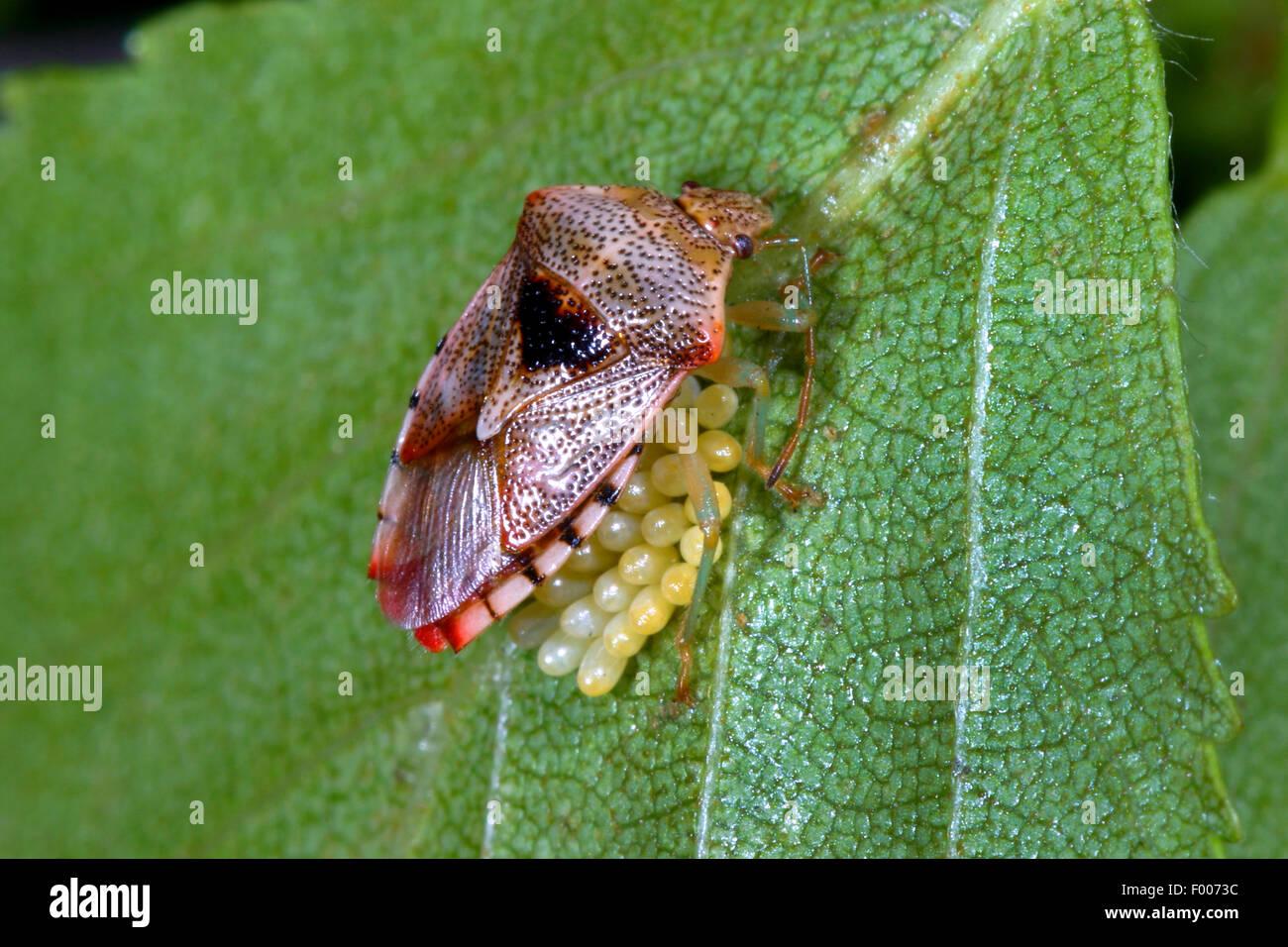 Bug de padres, mimando bug (Elasmucha grisea), protegiendo sus huevos, Alemania Imagen De Stock