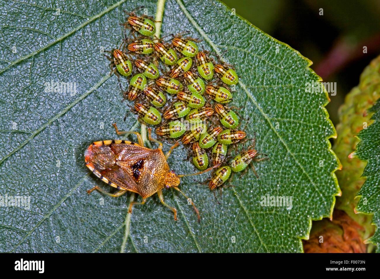 Bug de padres, mimando bug (Elasmucha grisea), custodiando sus larvas, Alemania Imagen De Stock