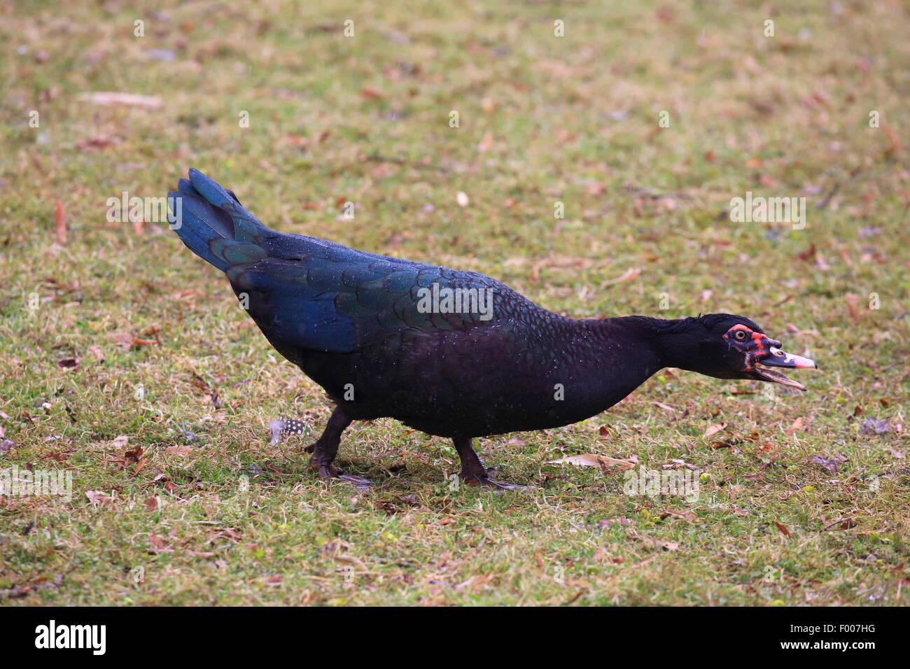 Pato real (Cairina moschata), amenazando Imagen De Stock