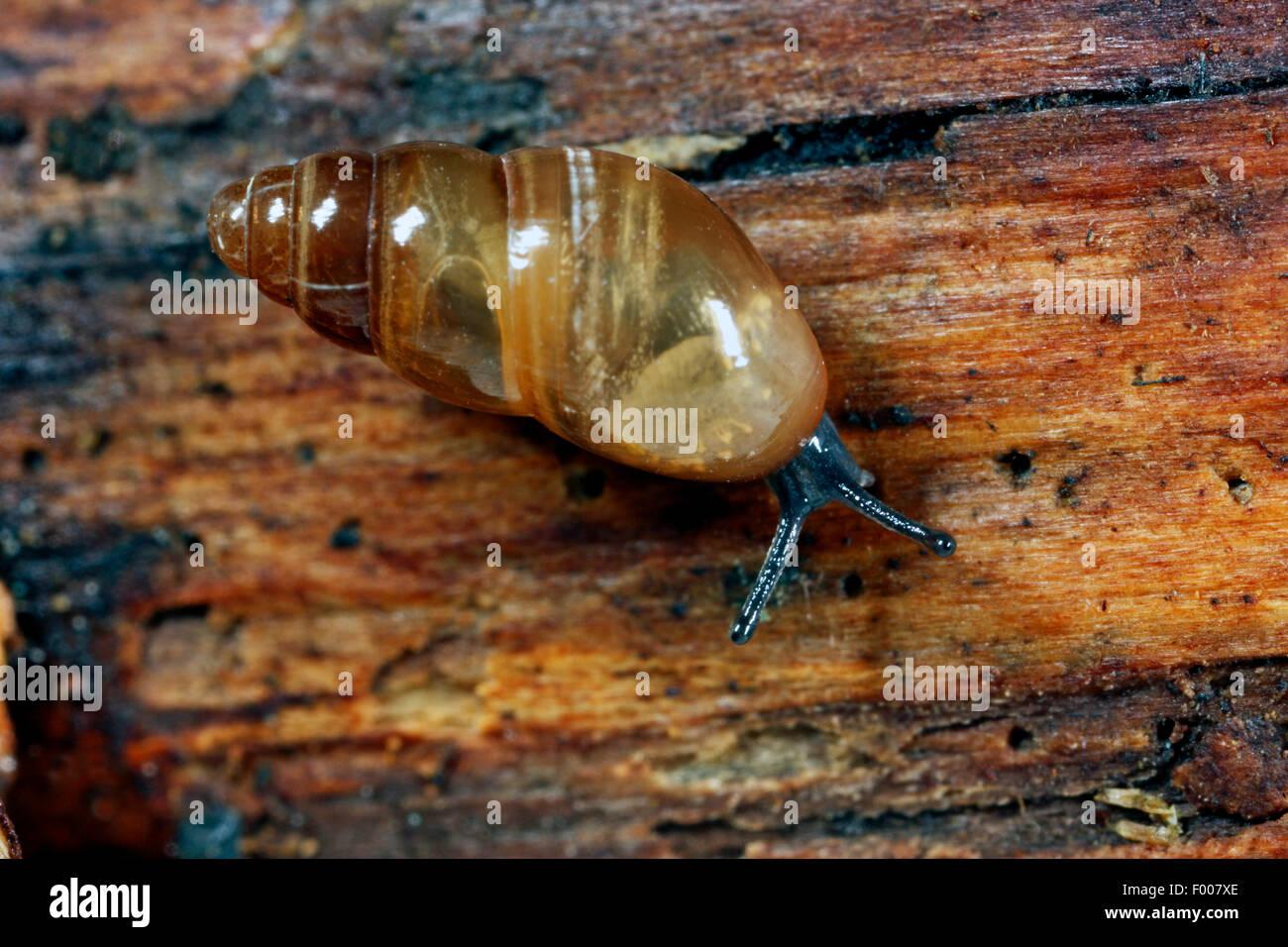 Musgo resbaladizo, Caracol Caracol (pilar brillante Cionella lubrica, lubrica Cochlicopa), arrastrándose en Imagen De Stock