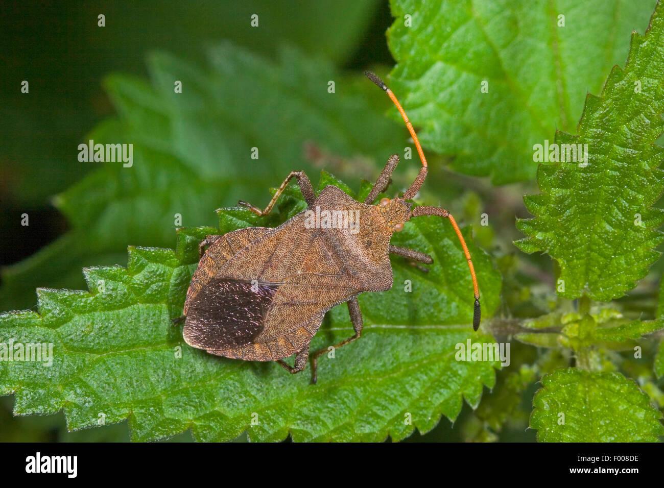 Squash bug (Coreus marginatus, Mesocerus marginatus), sentada sobre una hoja, Alemania Imagen De Stock