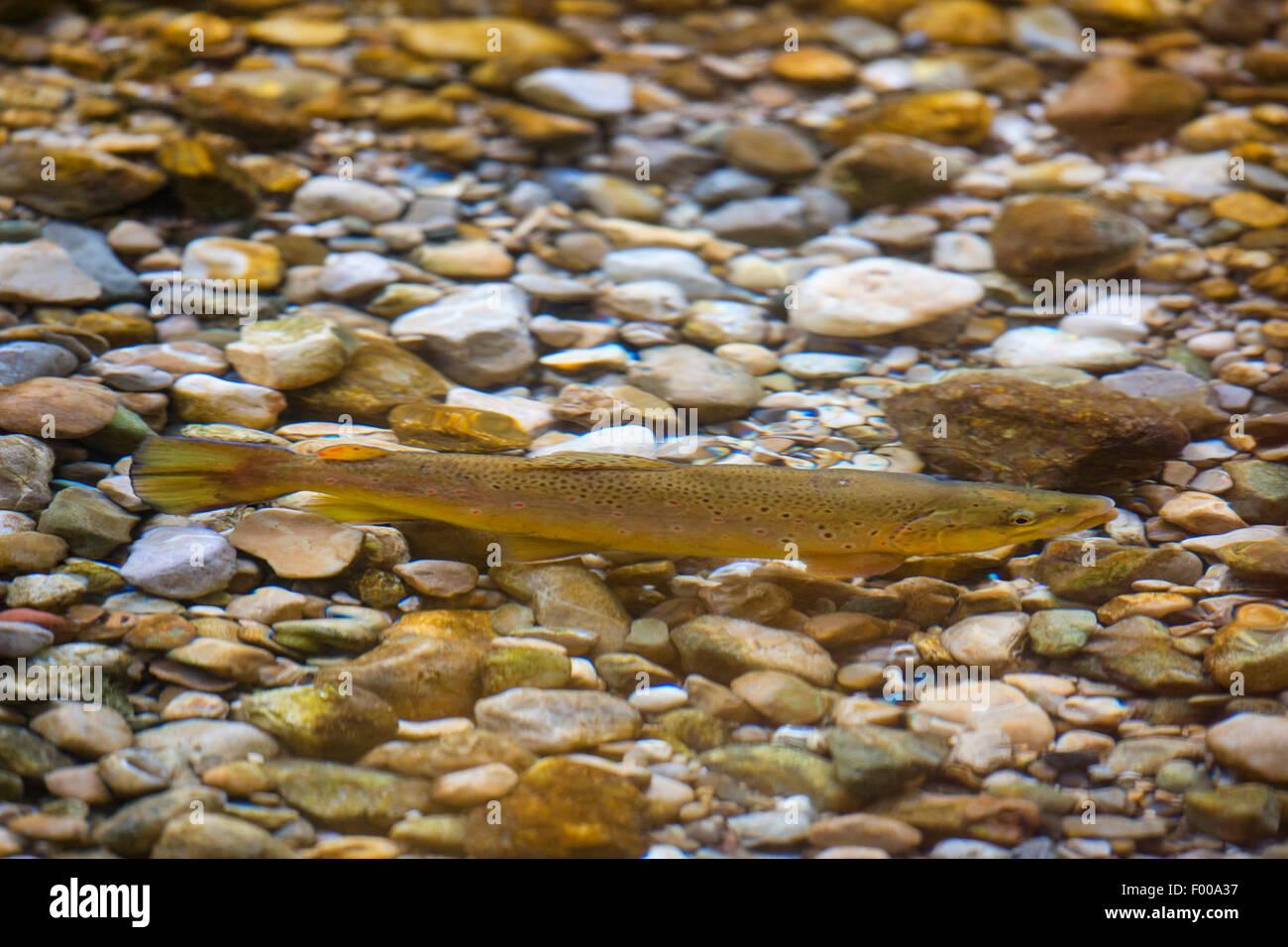 La trucha marrón, la trucha de arroyo, la trucha de río (Salmo trutta fario), macho en la migración de peces, Alemania, Foto de stock