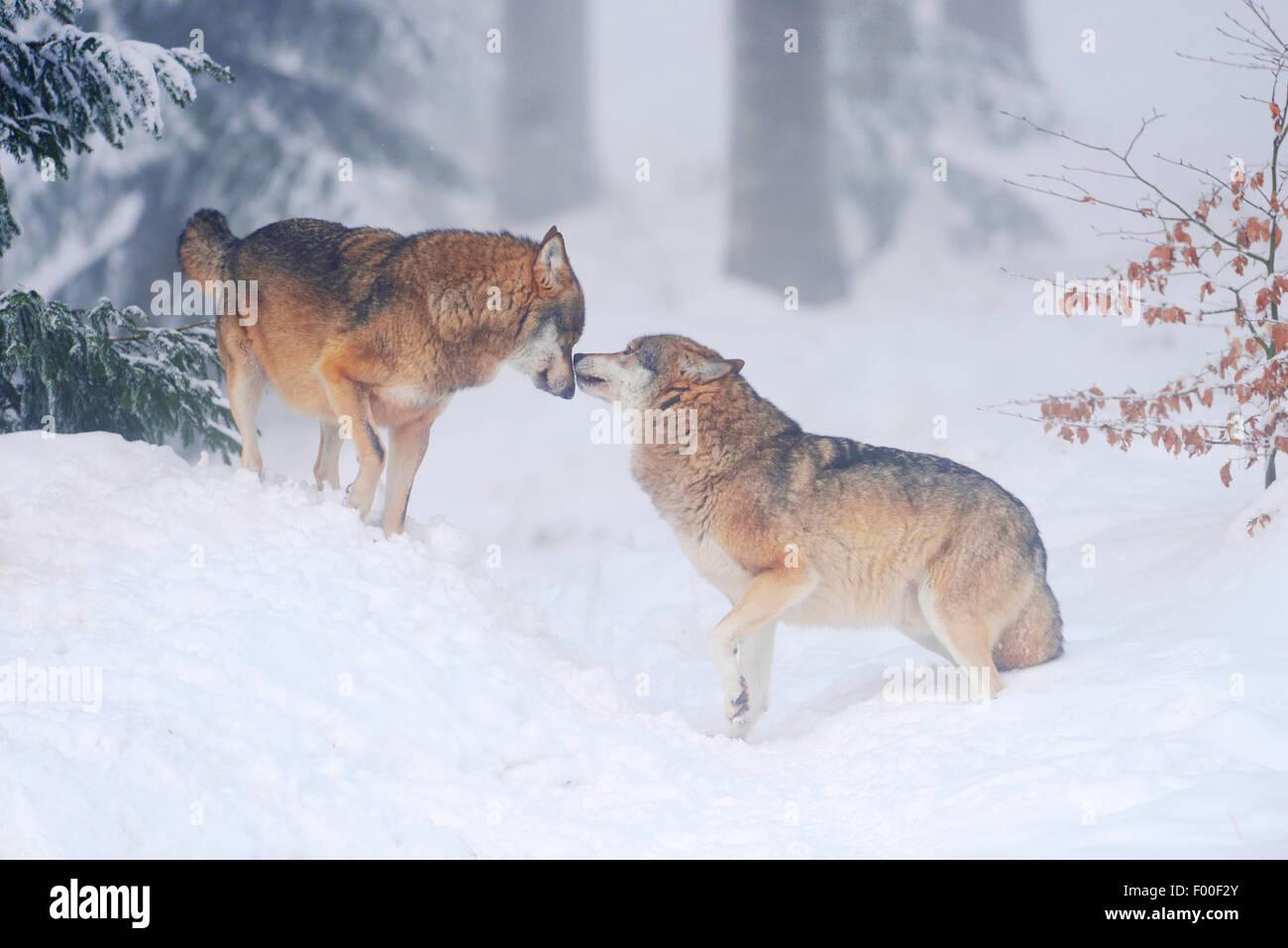 Unión lobo gris (Canis lupus lupus), dos lobos saludo, Alemania, Baviera, Parque Nacional del Bosque Bávaro Imagen De Stock