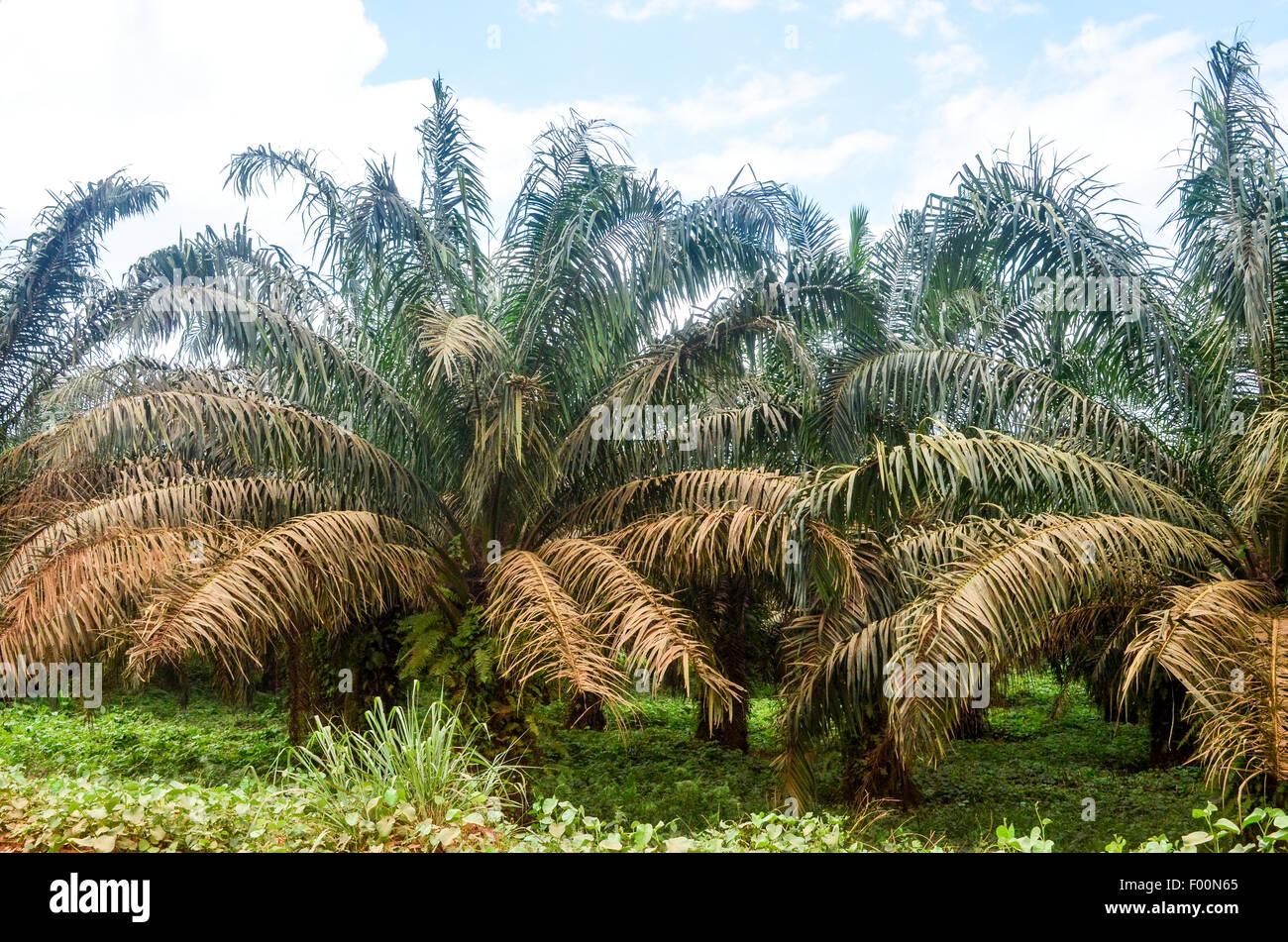 Palm Tree (aceite de palma) plantaciones en Ghana Imagen De Stock