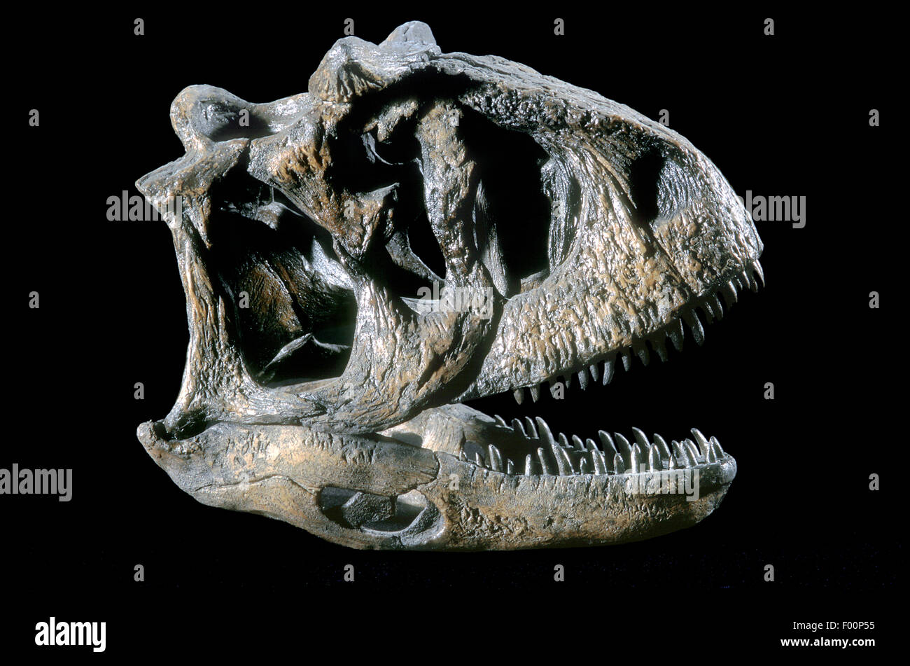 Carnotaurus sastrei, fósiles de dinosaurios del Cretáceo temprano, Patagonia Imagen De Stock