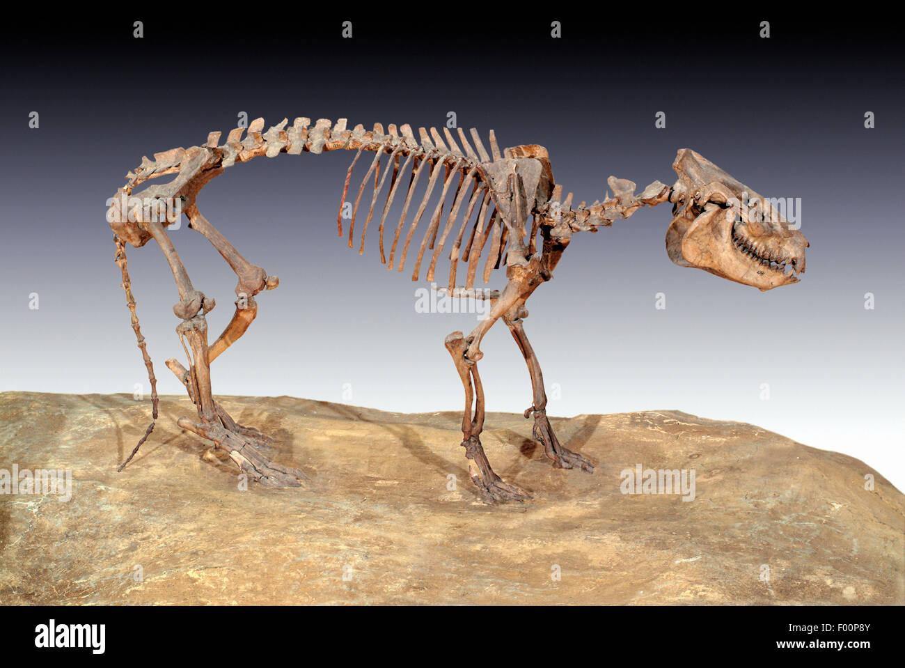 Fósil, Merycoidodon Oreodont culbertsoni, oriente el Oligoceno, Nebraska Foto de stock
