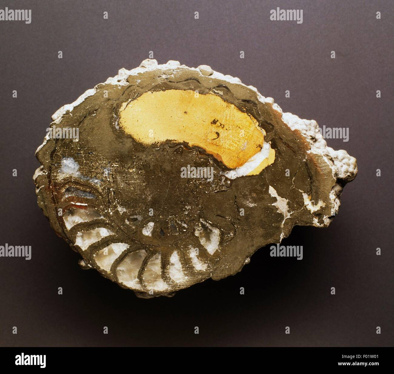 Amonita fósil, Cephalopoda, período jurásico. Imagen De Stock