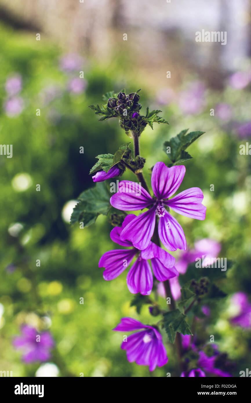 Flores púrpura. Cerca. Luz natural Imagen De Stock