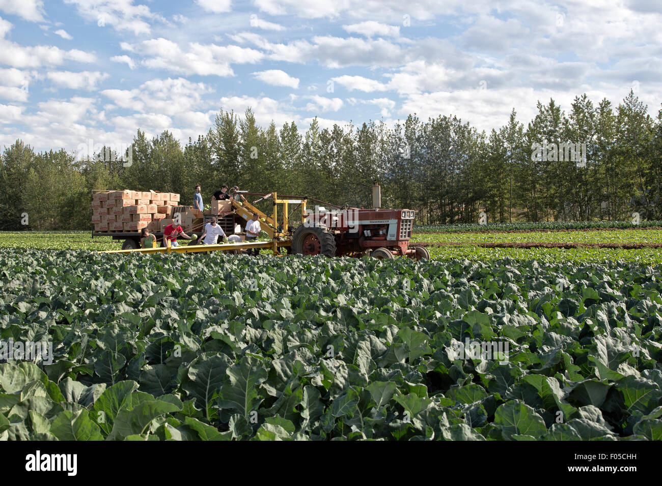 Los trabajadores agrícolas cosechando col. Imagen De Stock
