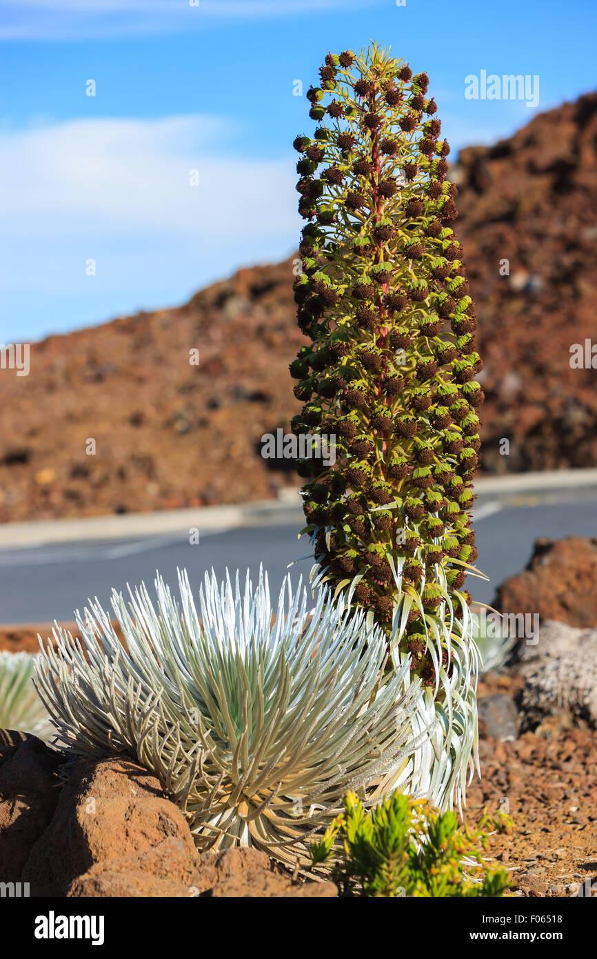 Argyroxiphium sandwicense subsp. macrocephalum, el Haleakala silversword, es una planta rara, parte de la familia Imagen De Stock