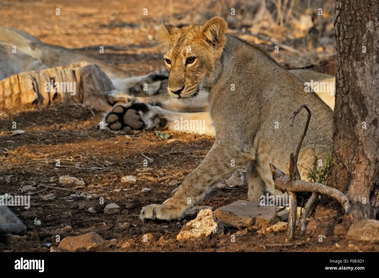 Los menores León asiático (Panthera leo persica) en el parque nacional de Gir, Gujarat, India Foto de stock
