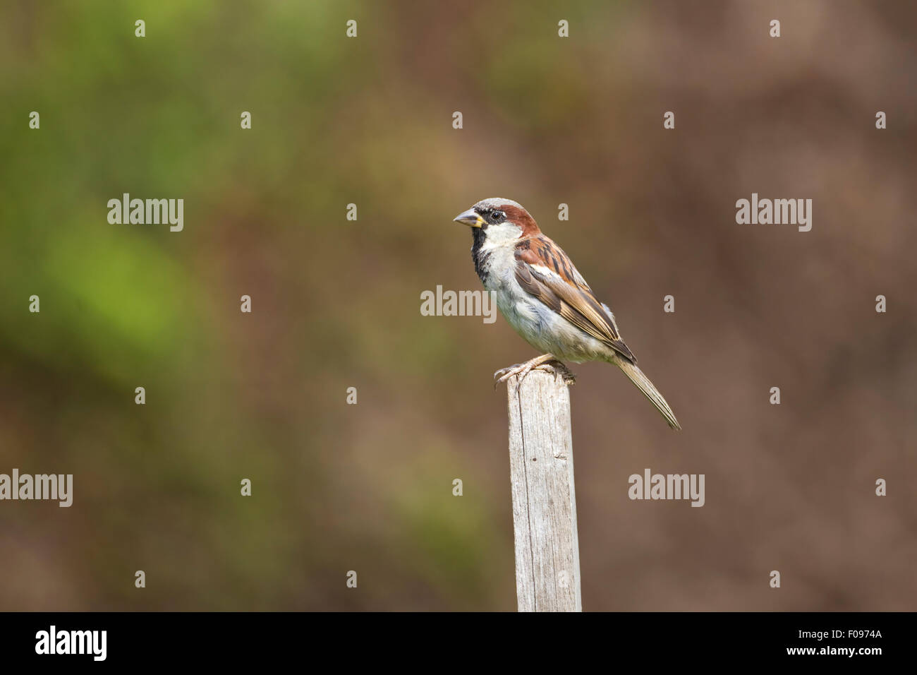 Passer domesticus Gorrión macho posado sobre un poste de cerca con fondo difuso Foto de stock