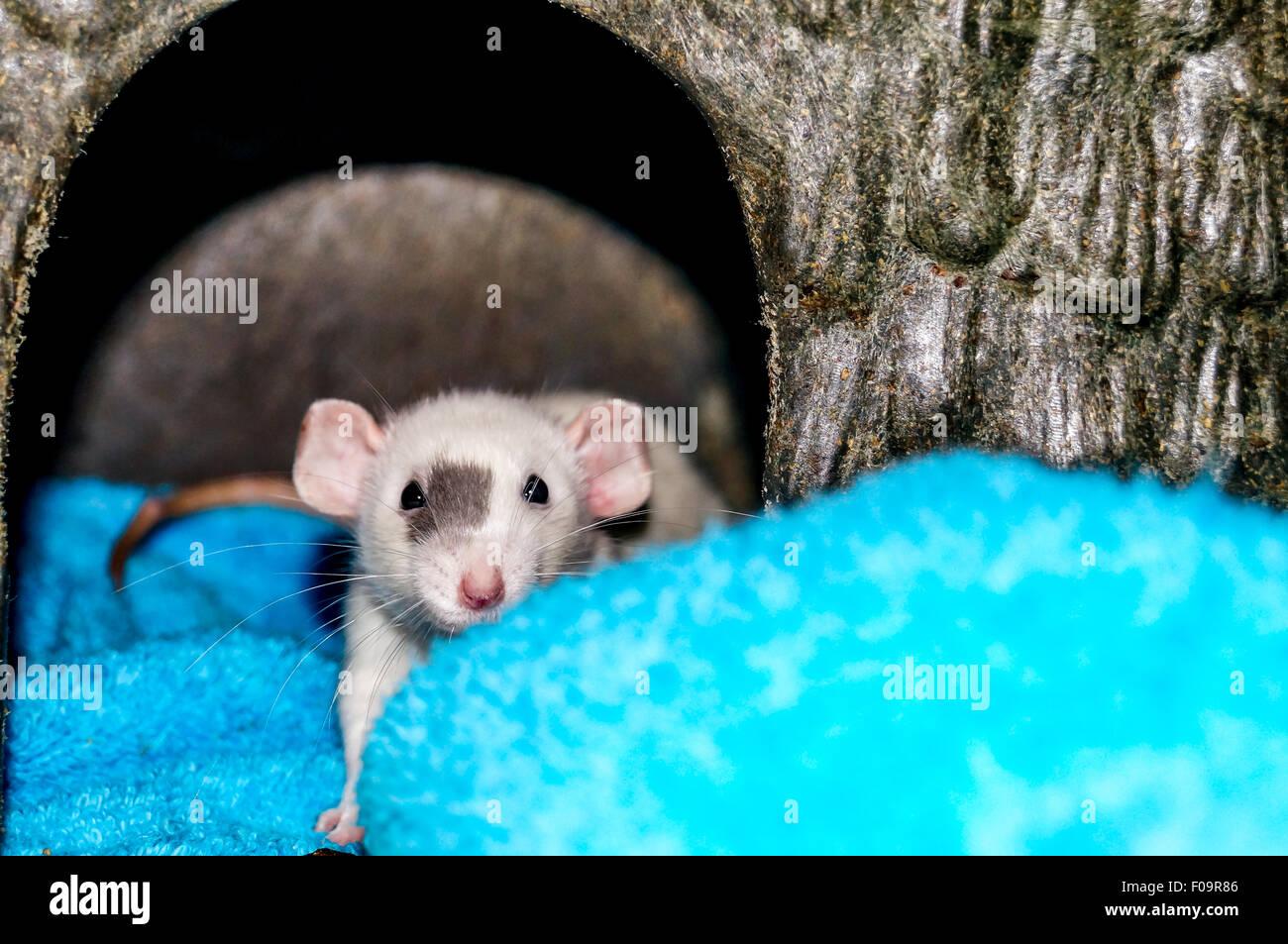 Rata dumbo blanco dentro de una pequeña casa de animales y mirando a la cámara Imagen De Stock