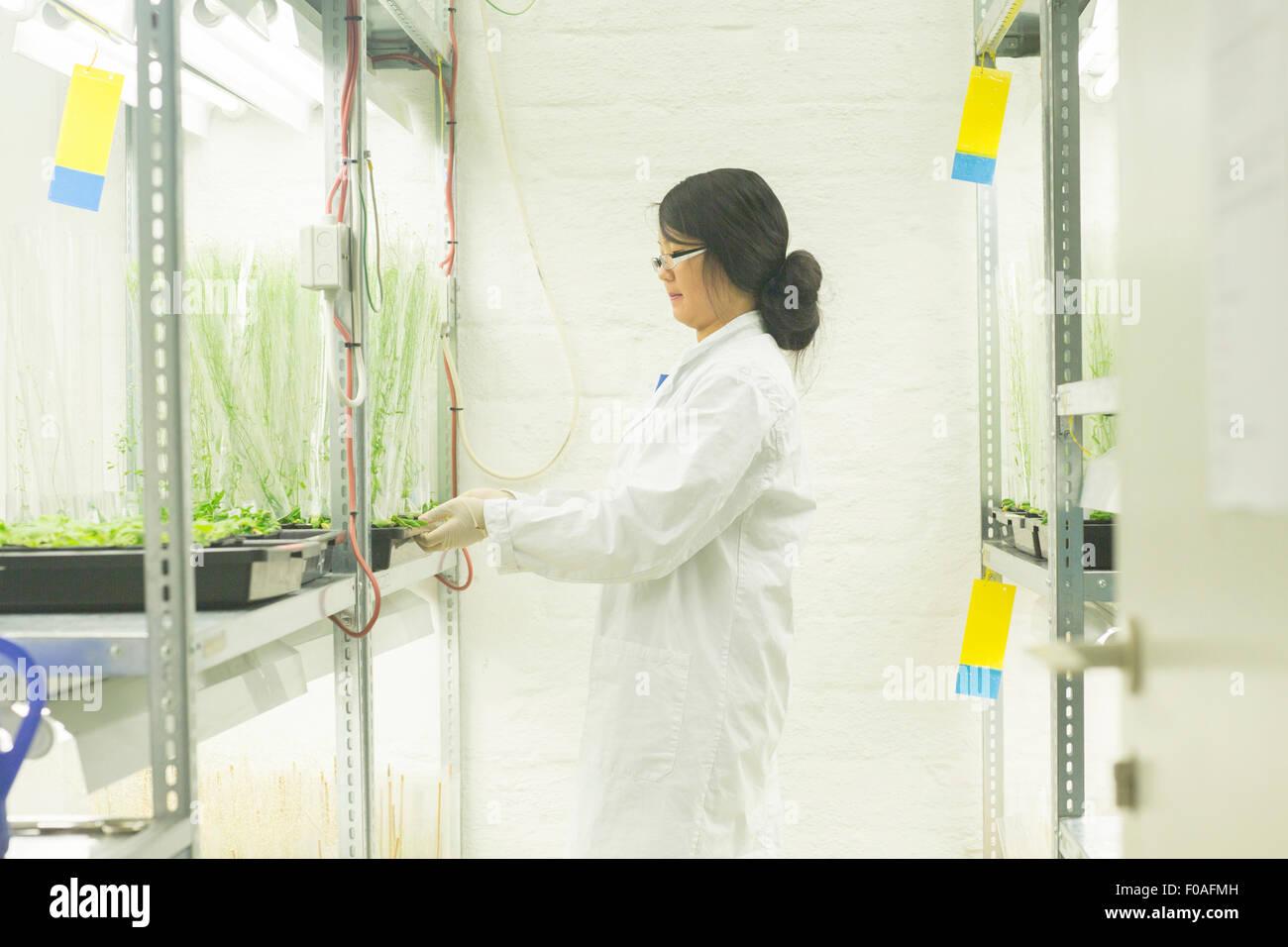 Investigadora elegir muestras de plantas en invernadero lab Imagen De Stock