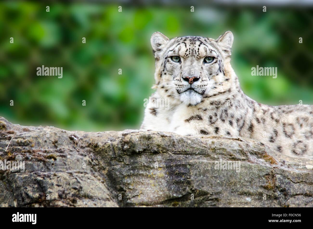 Snow Leopard tumbado sobre una roca en un zoológico Imagen De Stock