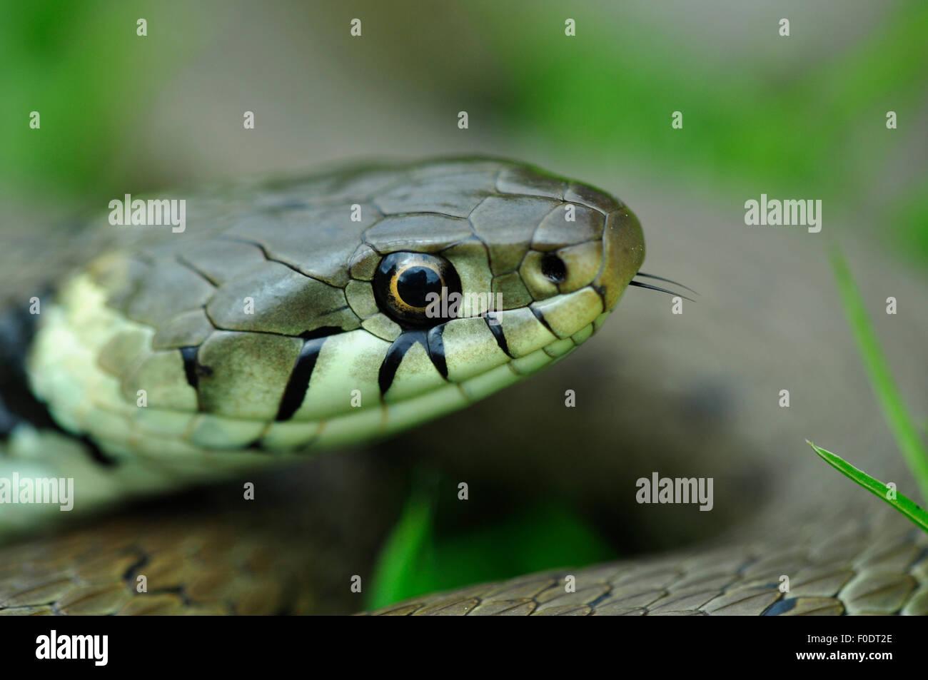 La cabeza de una serpiente de la hierba con su lengua apenas asomando UK Imagen De Stock