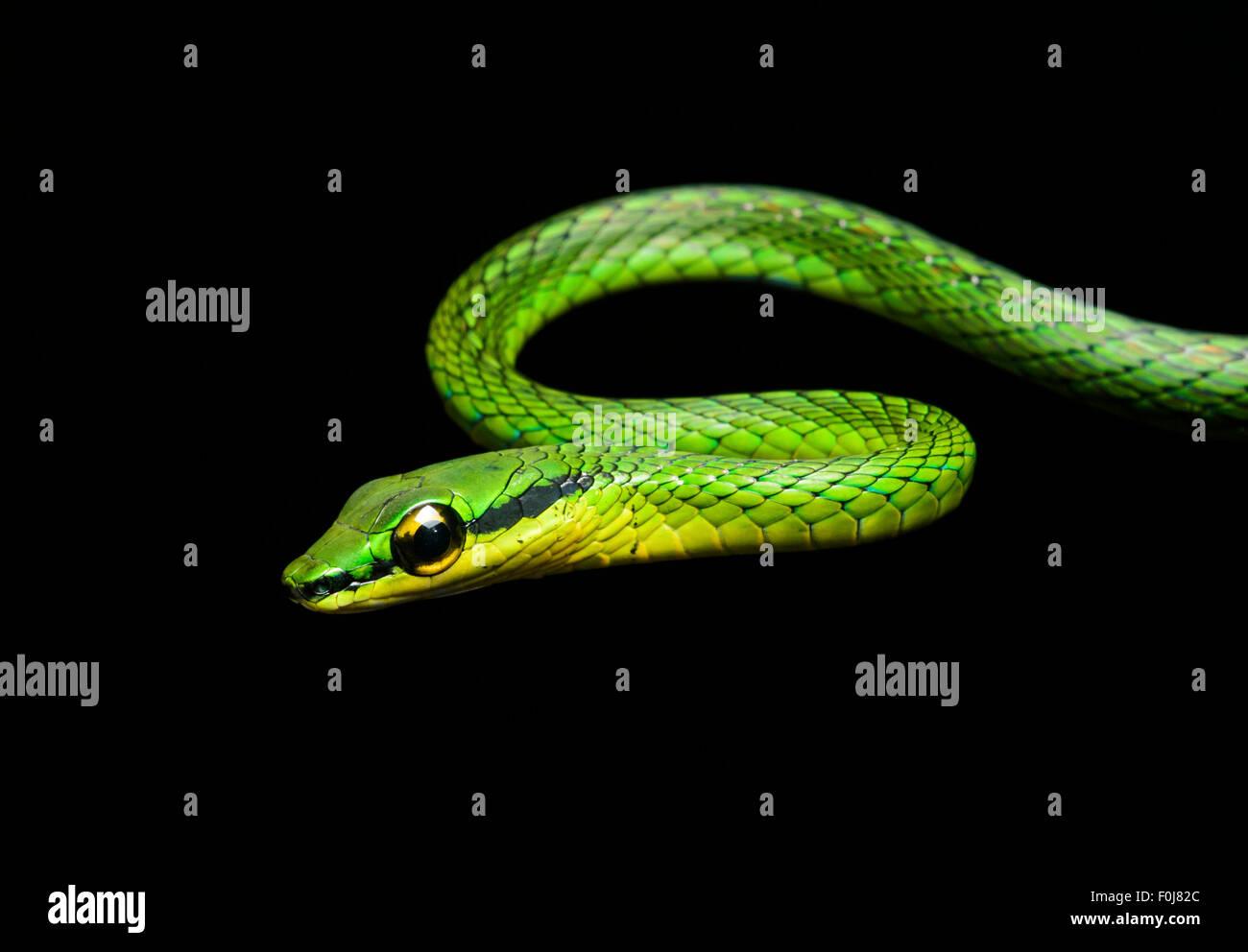 La viña de Cope snake (Oxybelis brevirostris), la serpiente (Colubridae), Chocó rainforest, Ecuador Foto de stock