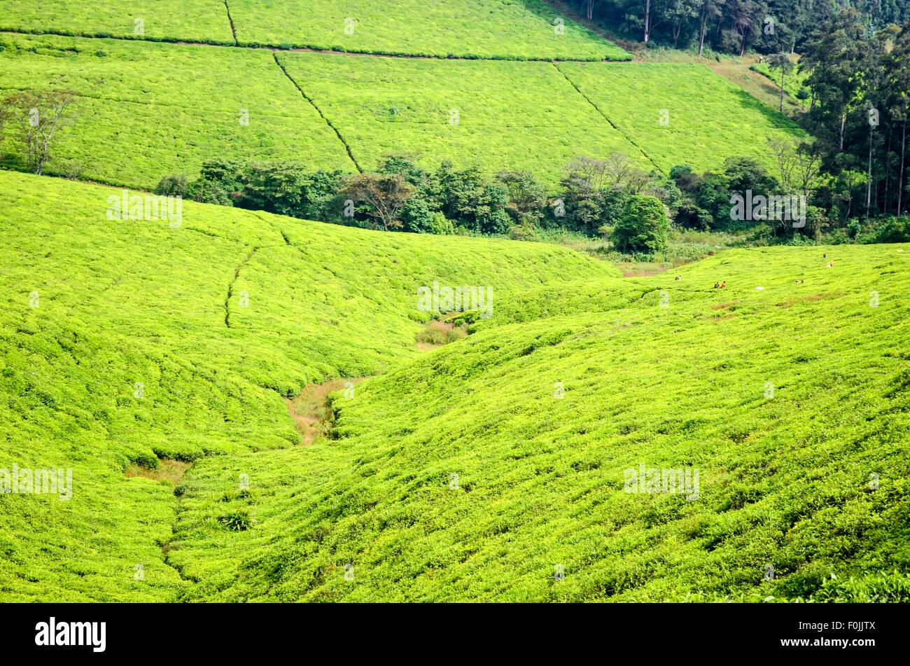 Plantaciones de Té a lo largo de la carretera de circunvalación de Bamenda, Camerún Imagen De Stock