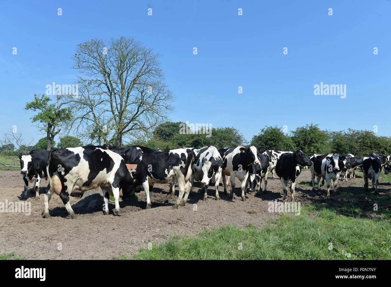 Thedinghausen, Alemania. 03Rd ago, 2015. Las vacas se han reunido en frente de un comedero en un potrero en Thedinghausen, Alemania, 03 de agosto de 2015. Muchas granjas en el estado alemán de Baja Sajonia tienden al bienestar de su ganado. Sin embargo, el pastoreo a menudo ya no es viable. Foto: Carmen Jaspersen/dpa/Alamy Live News Foto de stock