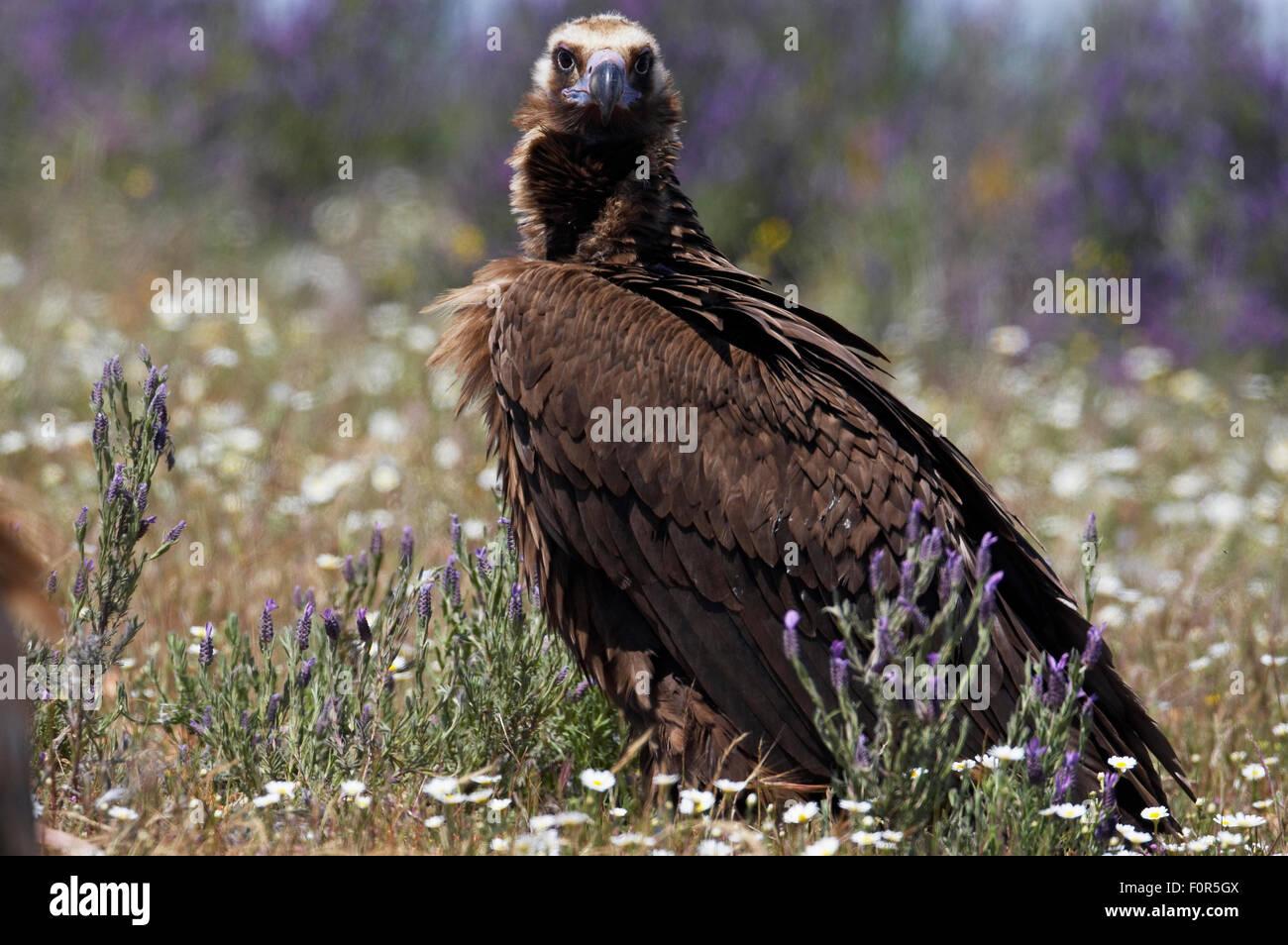 Buitre negro europeo (Aegyptus monacha) Extremadura, España, abril de 2009 Imagen De Stock