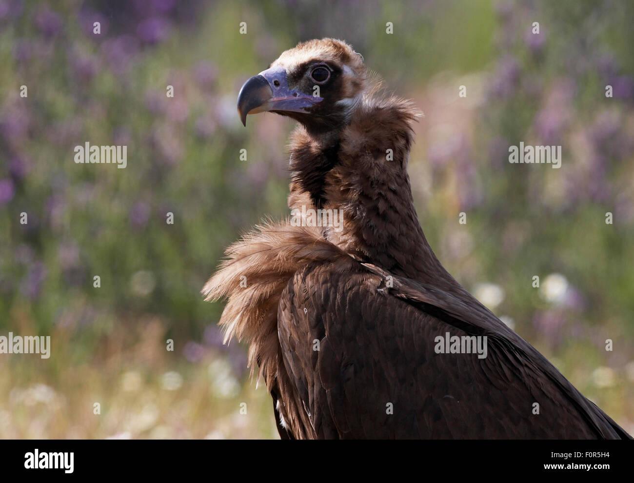Buitre negro europeo (Aegyptus monacha) retrato, Extremadura, España, abril de 2009 Imagen De Stock