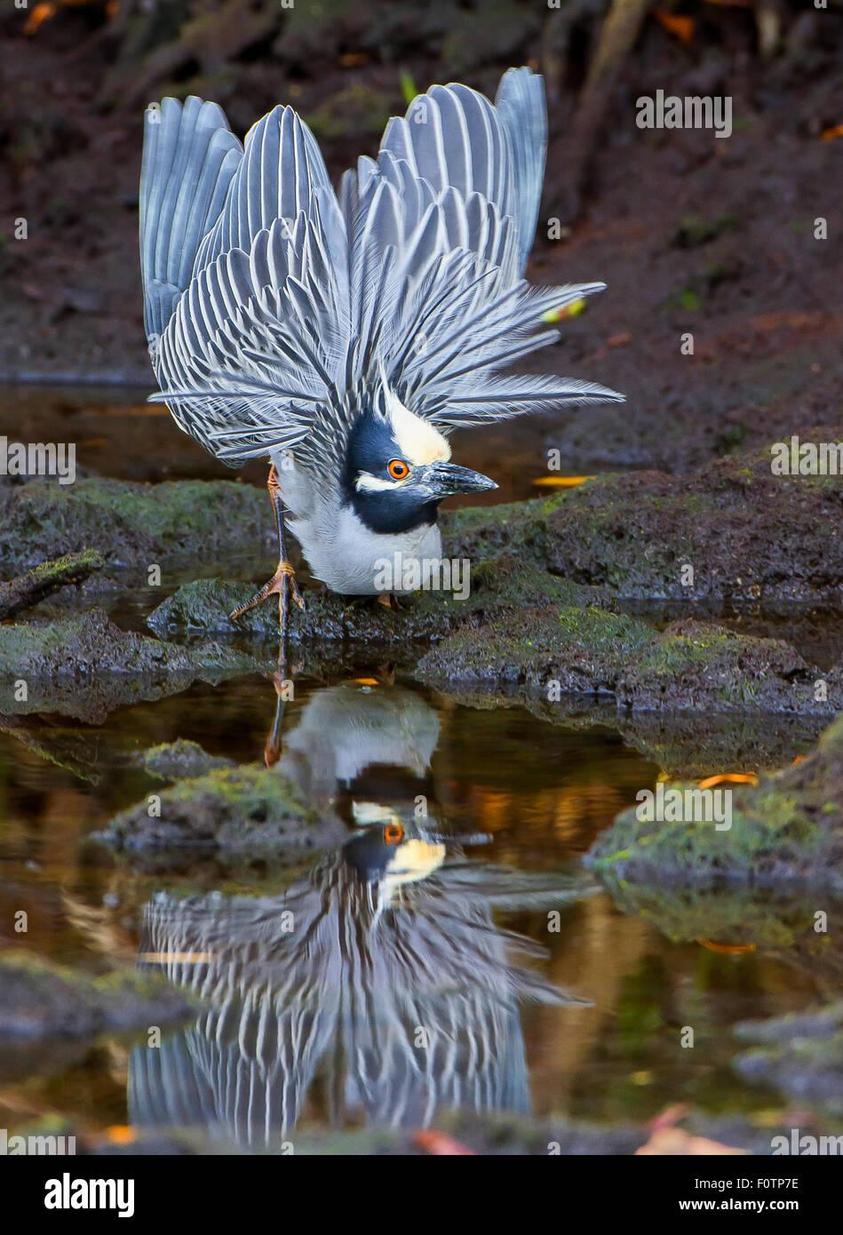 Amarillo-coronó la noche Heron cortejando a mostrar Imagen De Stock