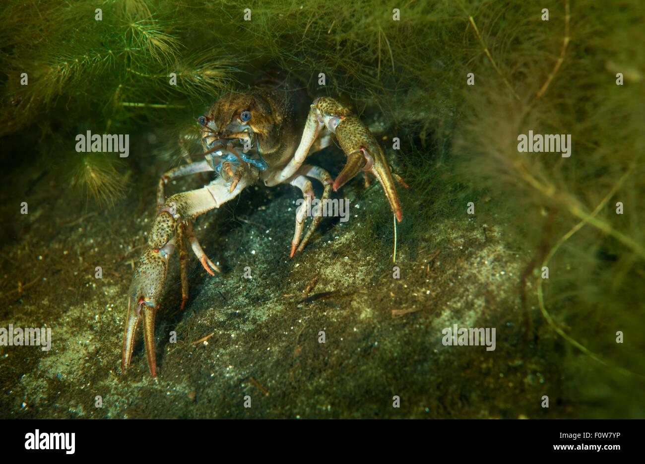 Cangrejos de río Gallegos (Astacus leptodactylus) escondidos en la maleza, el delta del Danubio, Rumania, Junio. Foto de stock