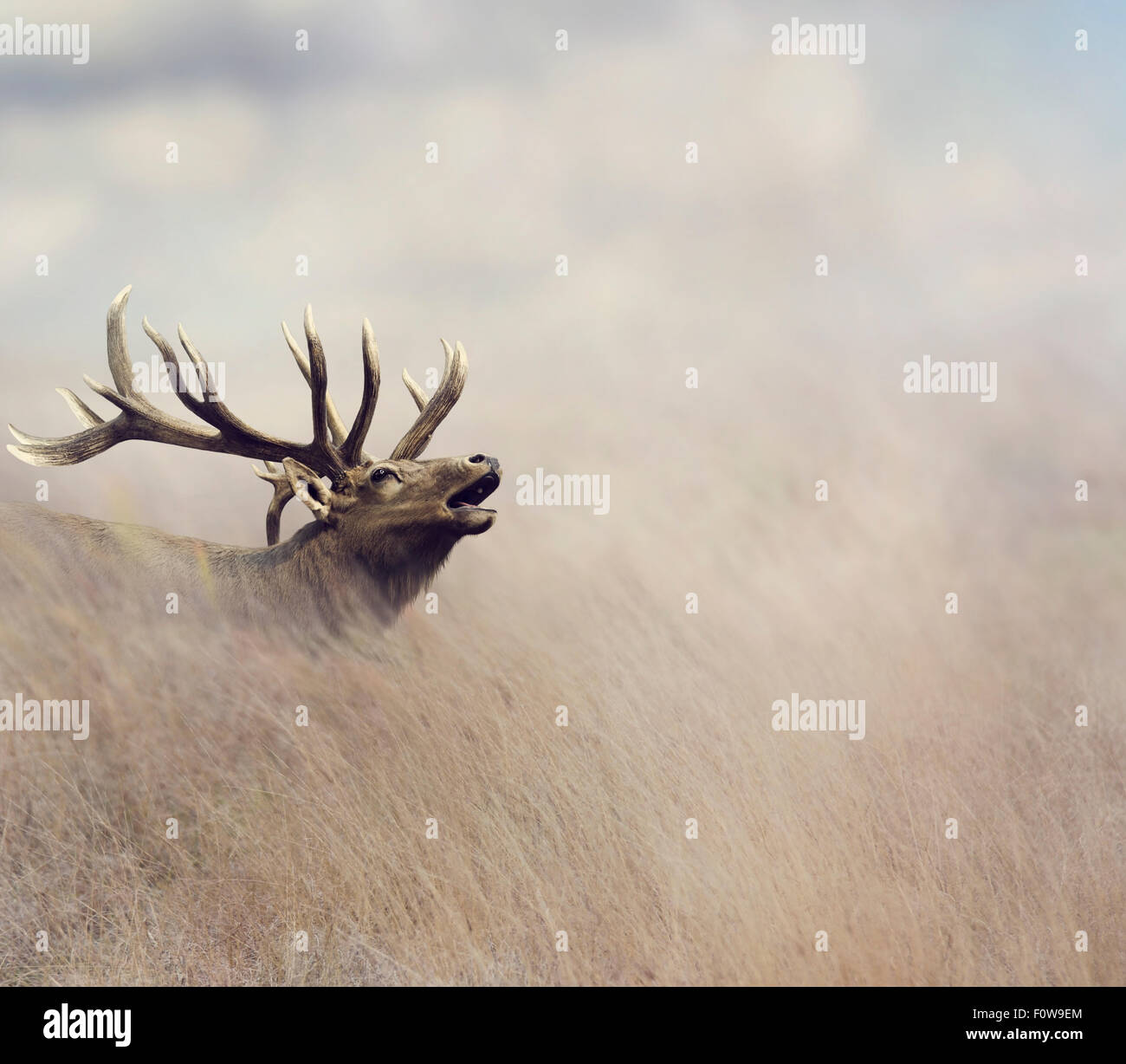 Elk caminar en el pasto alto Imagen De Stock