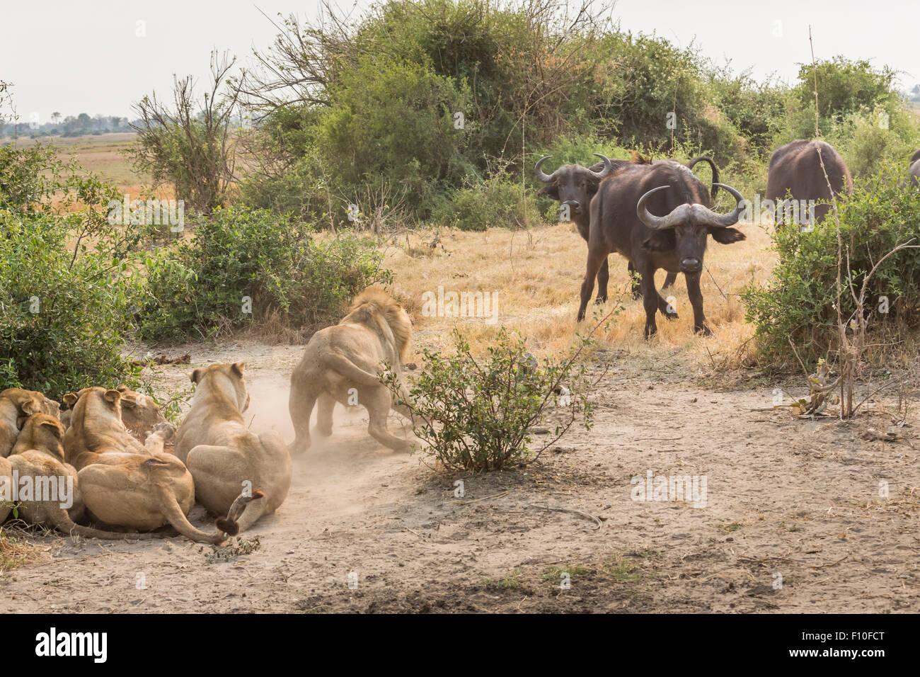 La interacción depredador-presa: enfrentamiento entre búfalos y leones que han derribado un ternero de Imagen De Stock