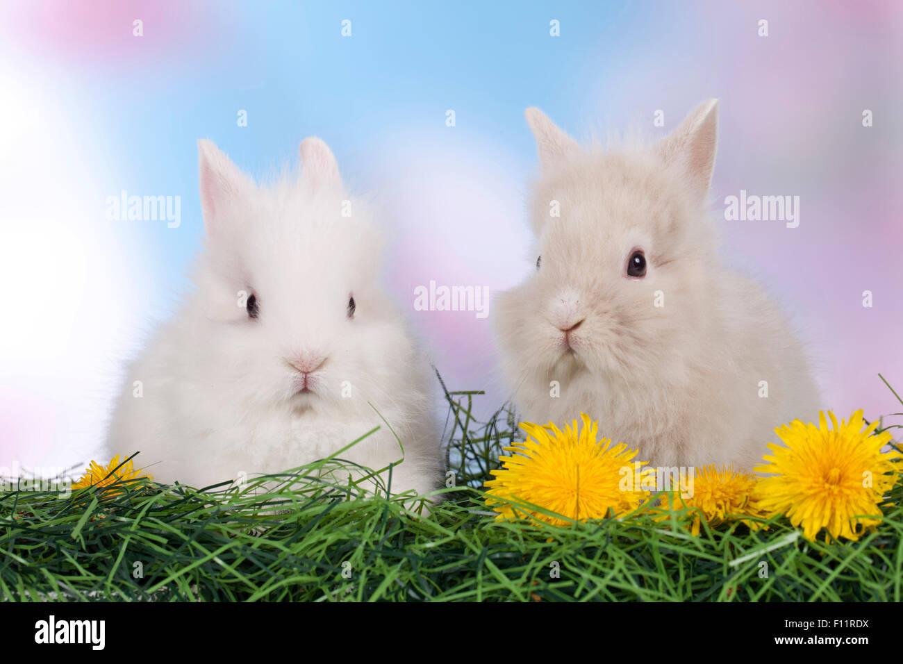 Conejo enano, Lionhead rabbit dos individuos hierba flores de diente de león Foto de stock