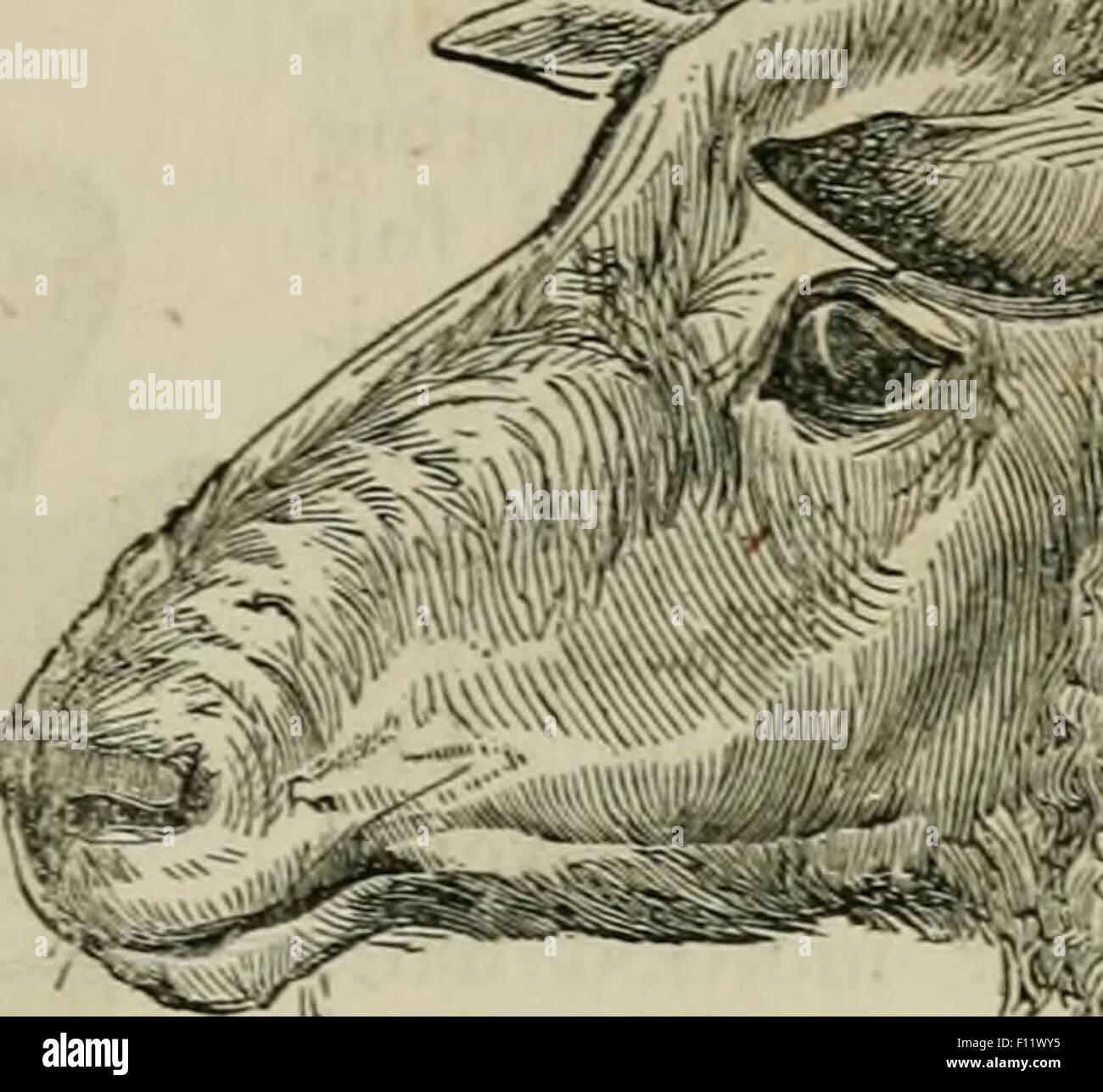 Ilustración de una vaca vieja Foto & Imagen De Stock: 86708809 - Alamy