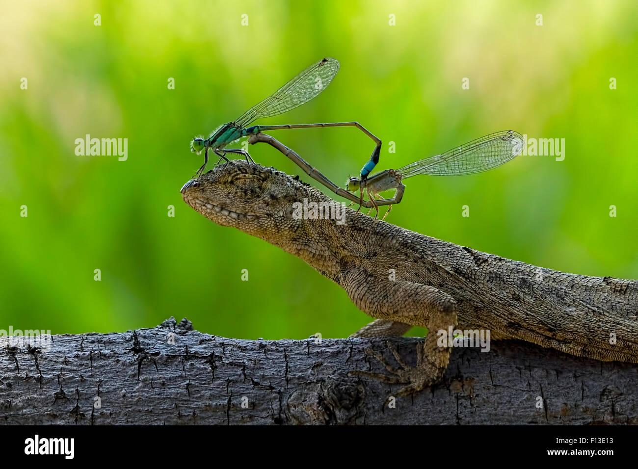 Dos apareamiento damselflies sentado sobre la cabeza de un lagarto Imagen De Stock