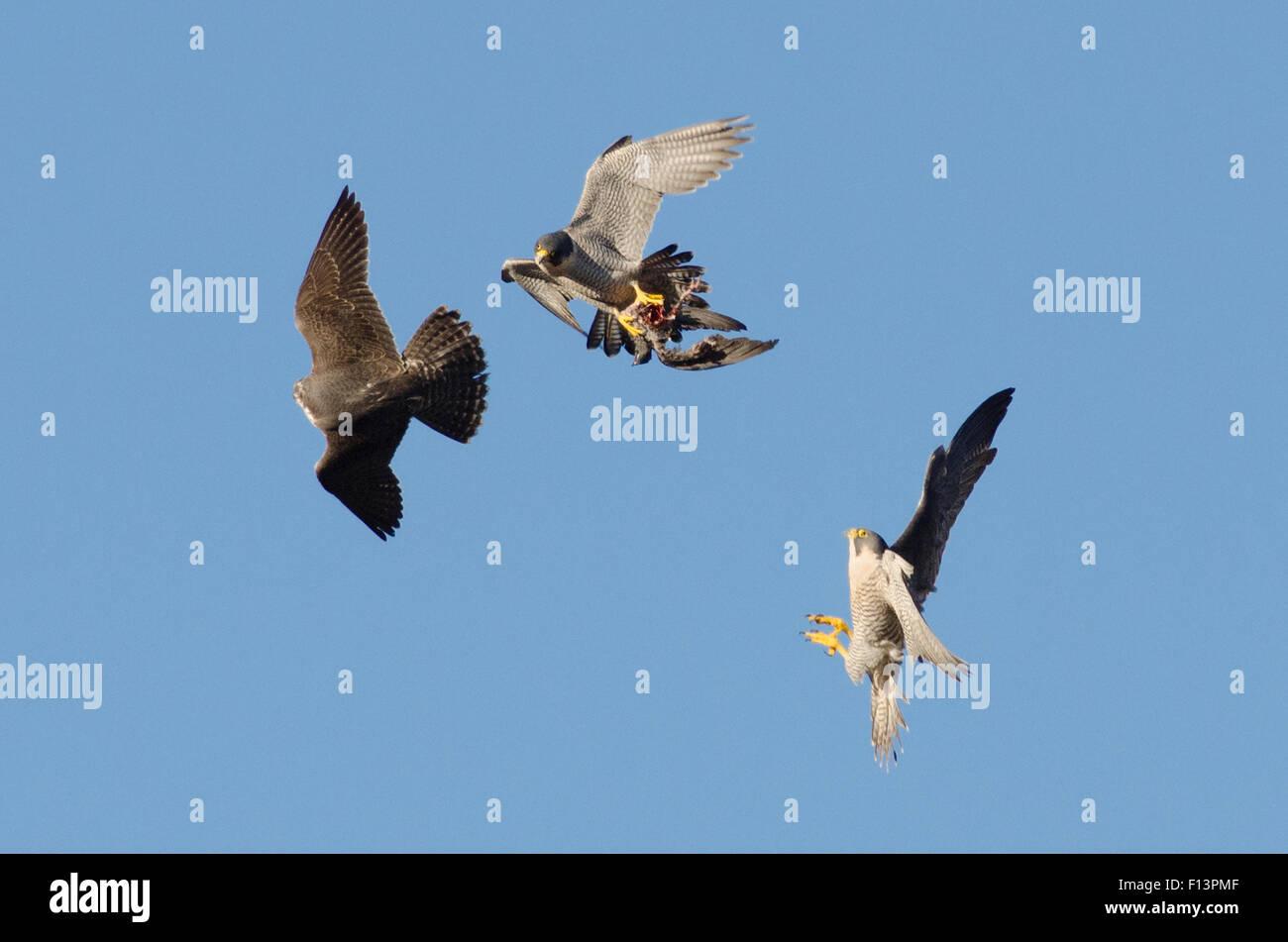 Macho adulto de halcón peregrino (Falco peregrinus) en vuelo con presas, perseguido por los menores varones y hembras adultas. Bristol, Reino Unido. De diciembre. Foto de stock