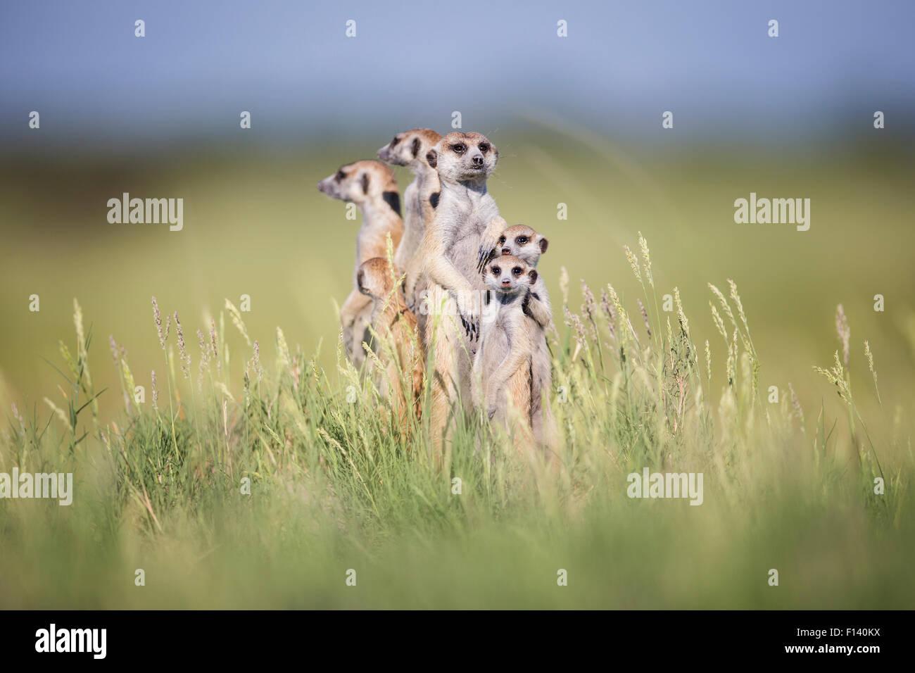 Suricata o (Suricata suricatta) Grupo de alerta permanente, Makgadikgadi Pans en Botswana. Imagen De Stock