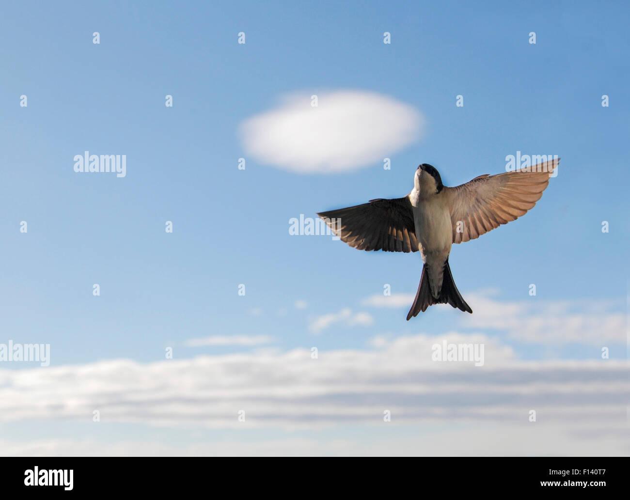 Martin (Delichon urbica casa) volando hacia arriba, con nubes, de Buskerud, Noruega, Julio. Imagen De Stock
