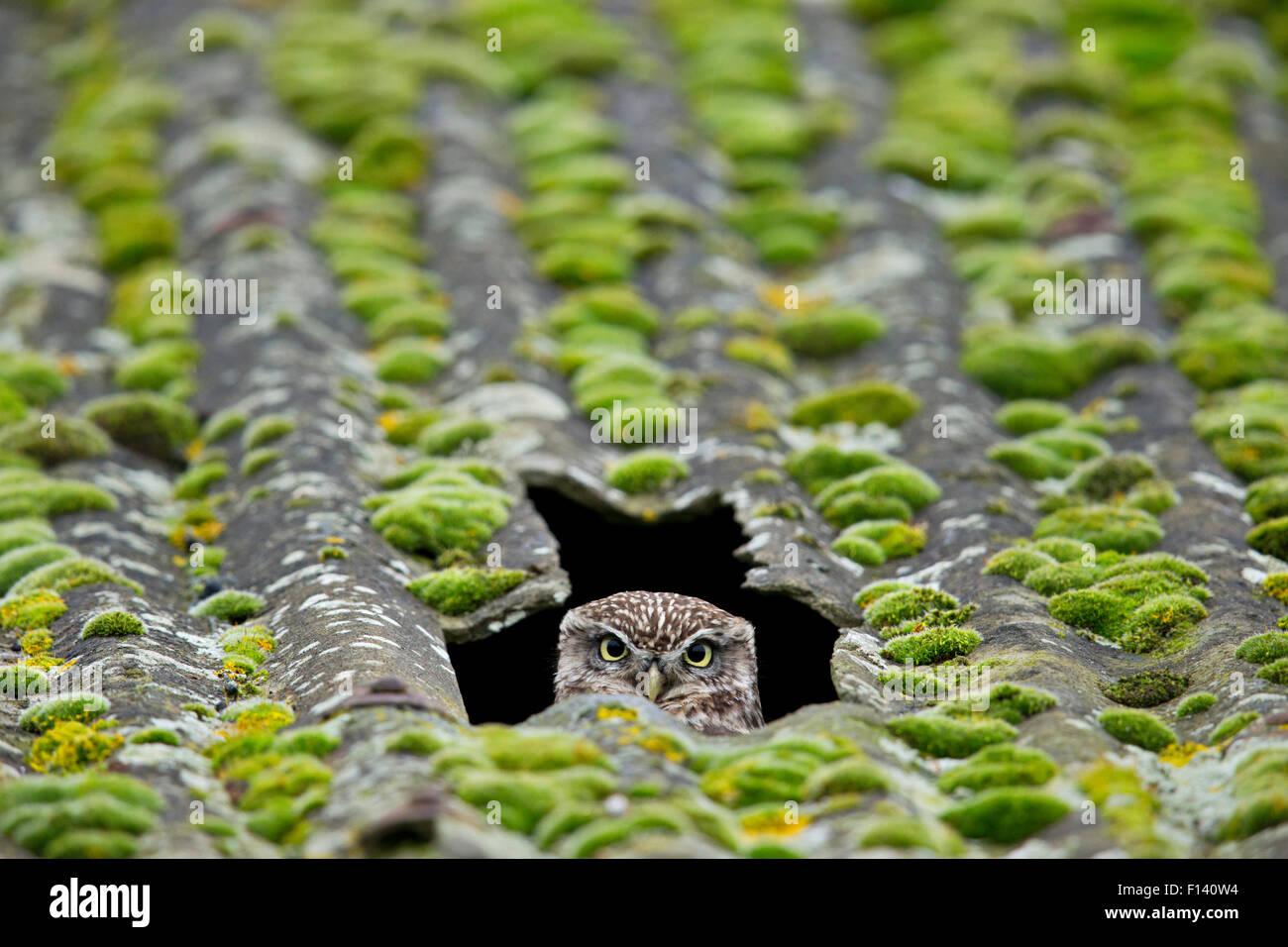 Pequeño Búho (Athene noctua) asomándose fuera del nido en el techo del granero, Reino Unido, diciembre. Imagen De Stock
