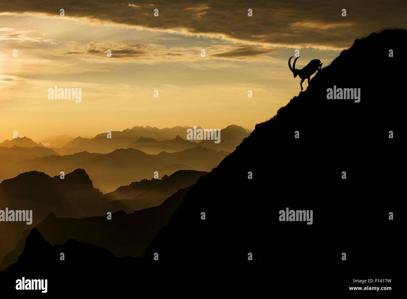 Alpina (Capra ibex) macho en la montaña al amanecer, Alpes Berneses, Suiza, en julio. Recibieron una mención Imagen De Stock