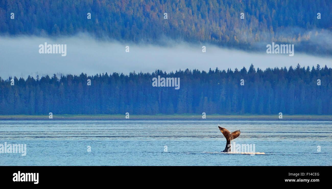 Fluke de cola de buceo una ballena jorobada (Megaptera novaeangliae) misty costa en fondo , Alaska, EE.UU. Golfo Imagen De Stock