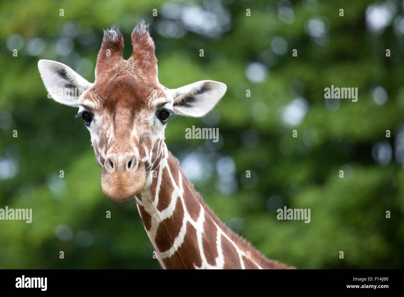 Cabeza de jirafa reticulada con espacio a la derecha del texto Imagen De Stock