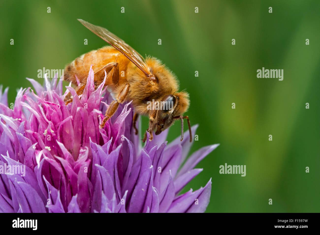 Abeja cordobés italiana (Apis mellifera ligustica), subespecies del oeste de las abejas recolectando néctar de floración cebollino Foto de stock