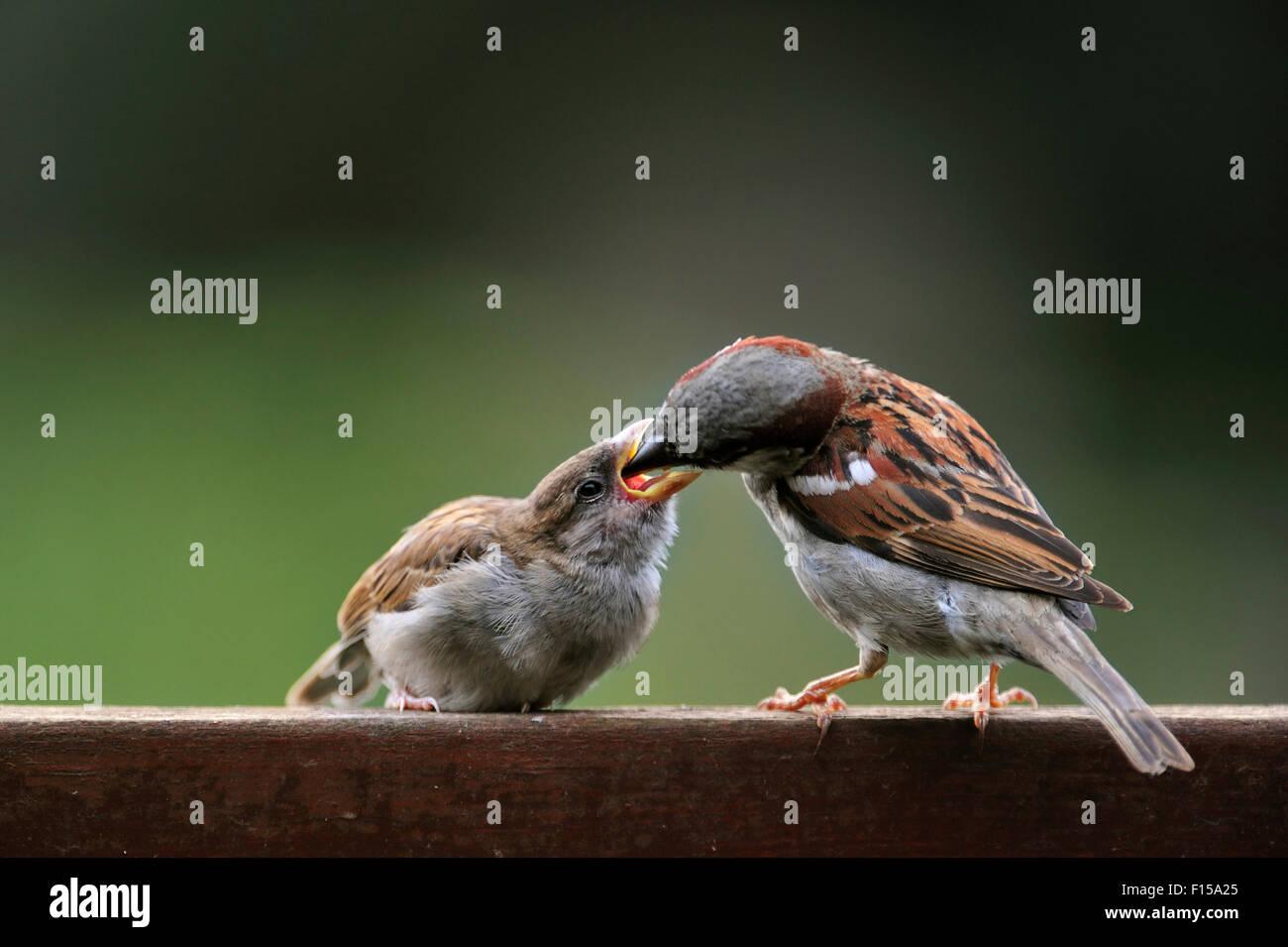 Gorrión común macho / gorrión (Passer domesticus) alimentar a los niños en el jardín vallado en verano Foto de stock