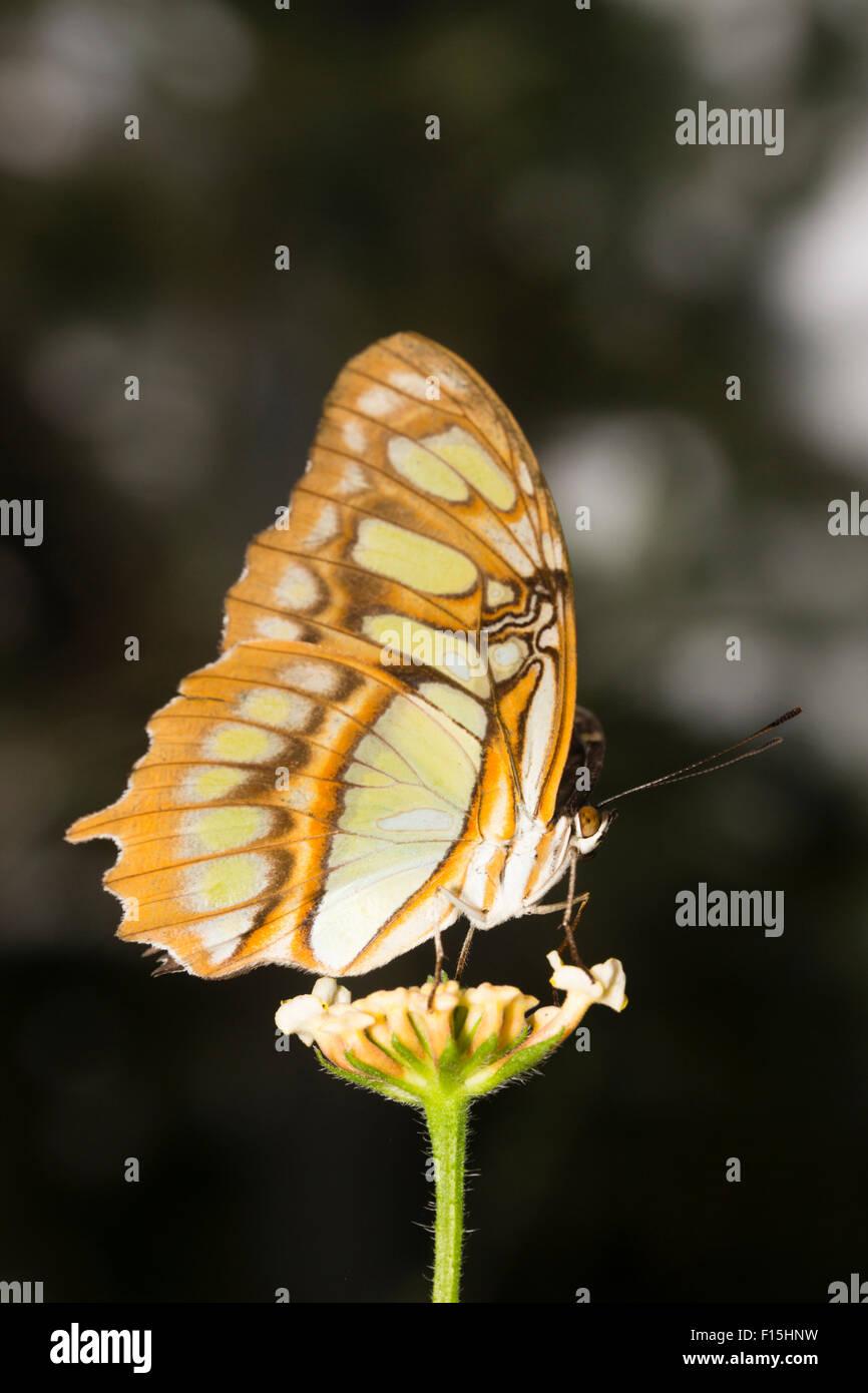 Underwings tropical butterfly, Siproeta stelenes malaquita, en una granja de mariposas Foto de stock