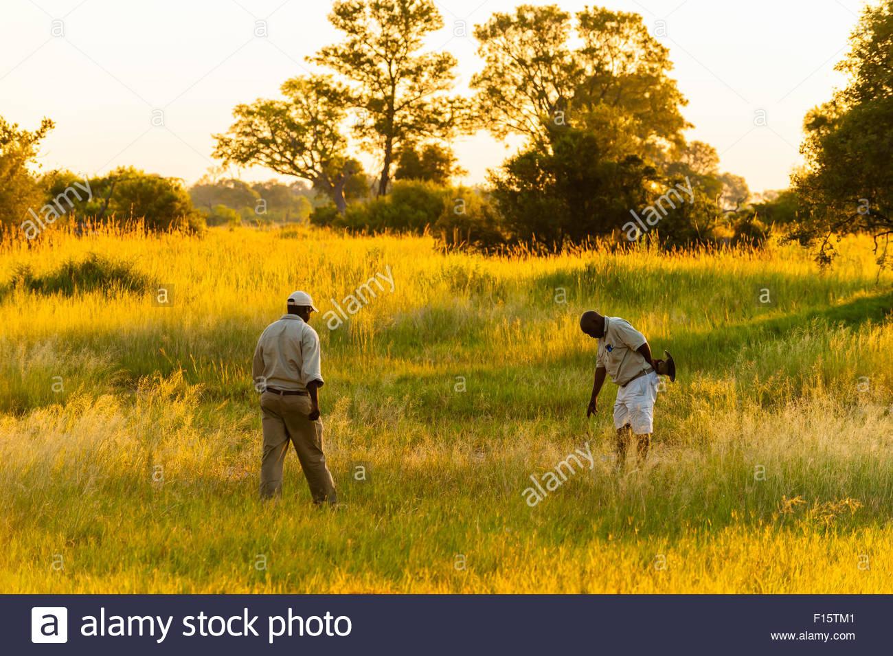 Rastreo de guías de safari un leopardo (viendo huellas), Kwara Camp, Delta del Okavango, Botswana. Imagen De Stock