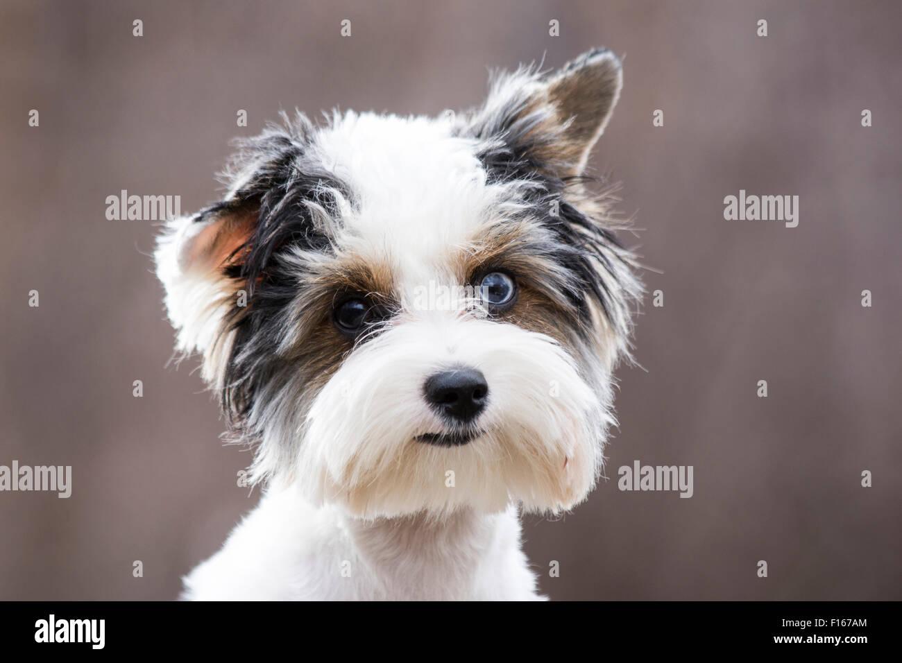 Poco alegre cachorro tricolor Imagen De Stock