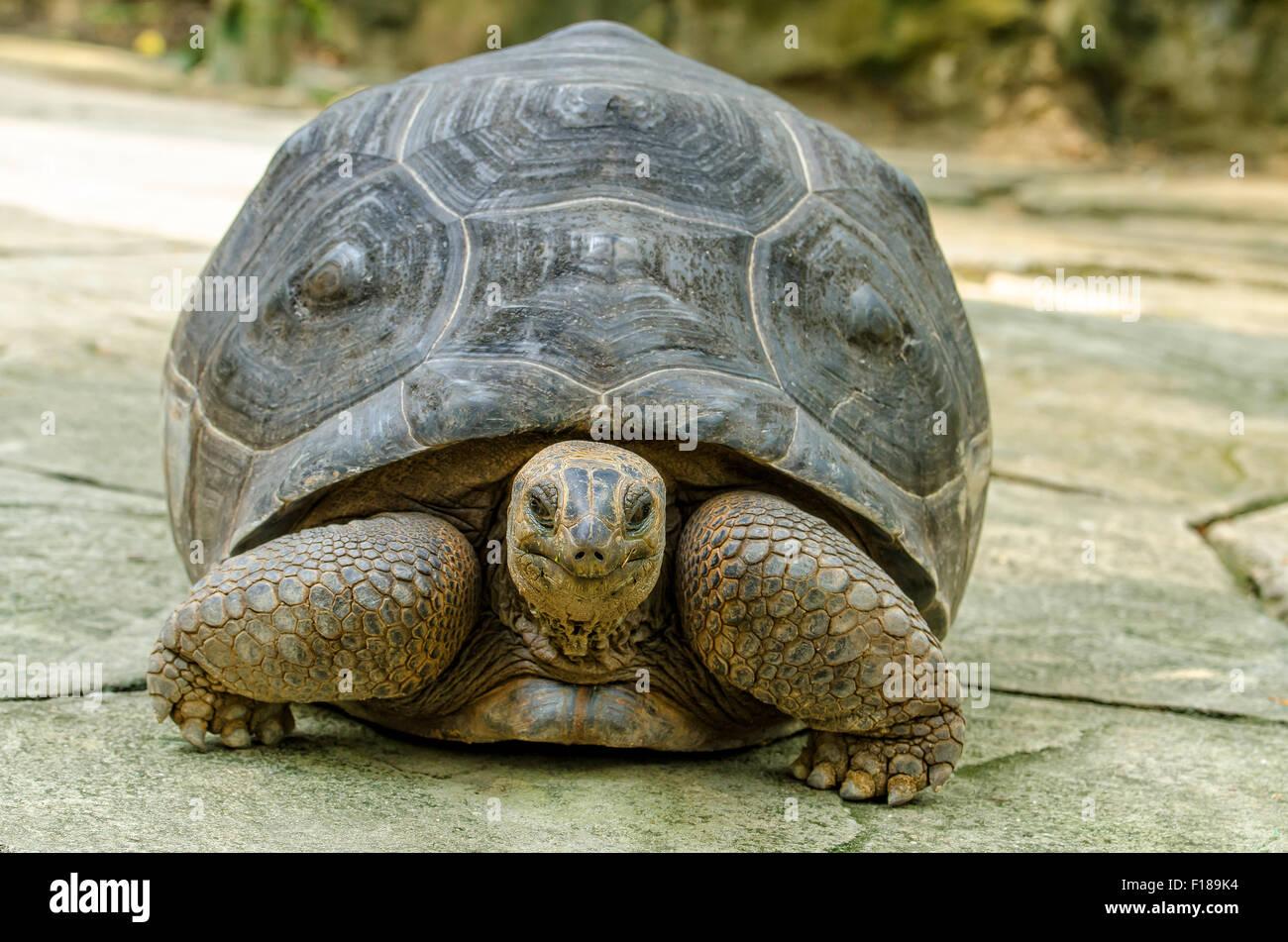 El hábitat de la tortuga Aldabra es isla del atolón de Aldabra en las Seychelles. Imagen De Stock