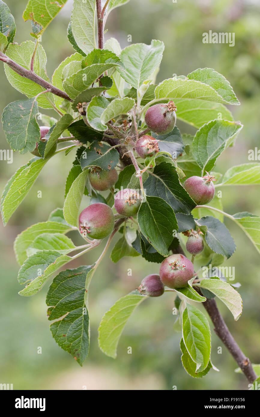 Malus domestica 'Joybells'. El desarrollo de la fruta en el árbol. Imagen De Stock