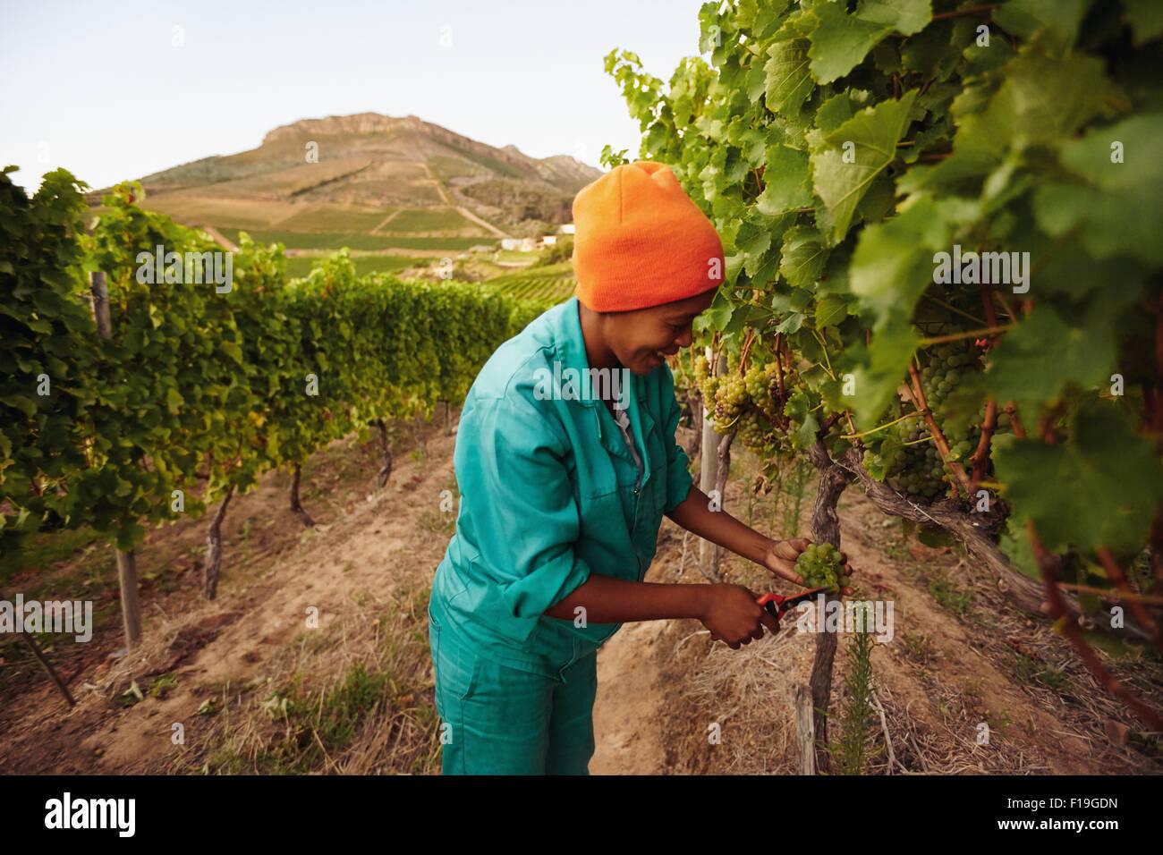 Mujer en viñedos de uva recogida. Picker cosechando uvas en la vid. Imagen De Stock