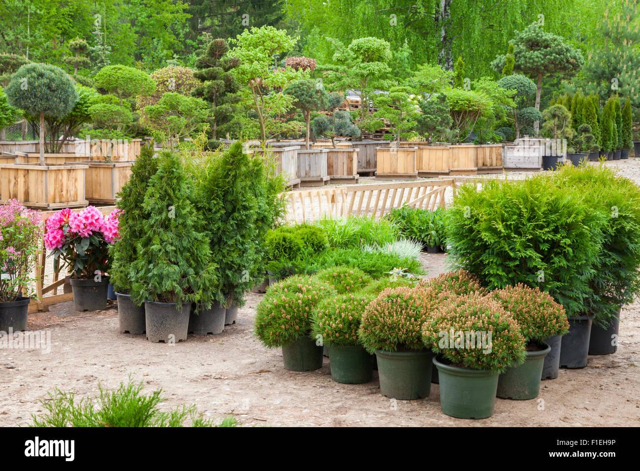 Los cipreses las plantas en macetas bonsai plantas de jardín en Tree Farm Foto de stock